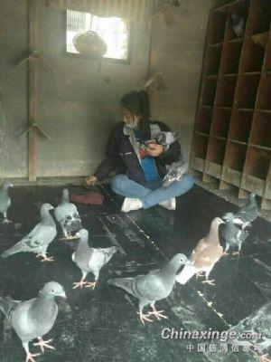 赢了比赛很浮躁膨胀,在国外这是一种鸽文化,希望鸽子给我们每个爱鸽养图片