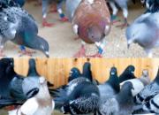 养鸽饲料引起的病症(图)
