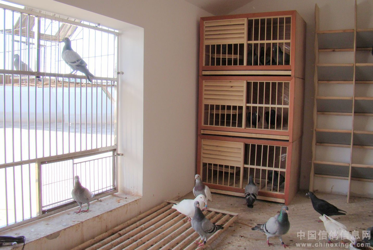 鸽蛋图片_鸽舍鸽具构造专题图片-中国信鸽信息网 www.chinaxinge.com