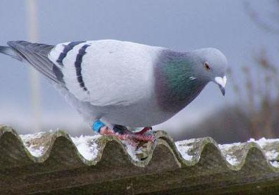 信鸽如何安全过冬专题图片