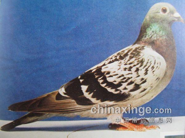 1986年上海500公里冠军鸽(图)