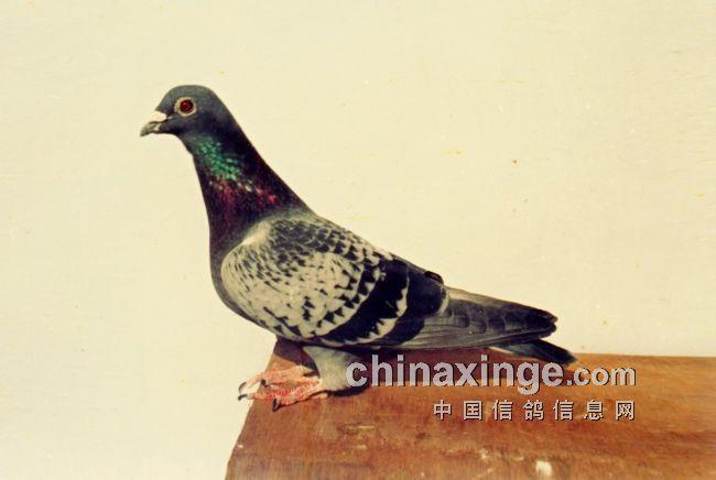 1991年济南市中区鸽协举办首届超远程(图)