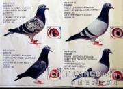 97年珍贵照片:詹森原棚种鸽