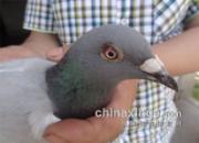 扬州火车头千公里:前三名验鸽(图)