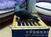 受伤信鸽获救(图)