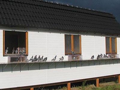 栖身大户周边的养鸽乐趣