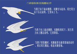 信鸽翅膀动力探讨