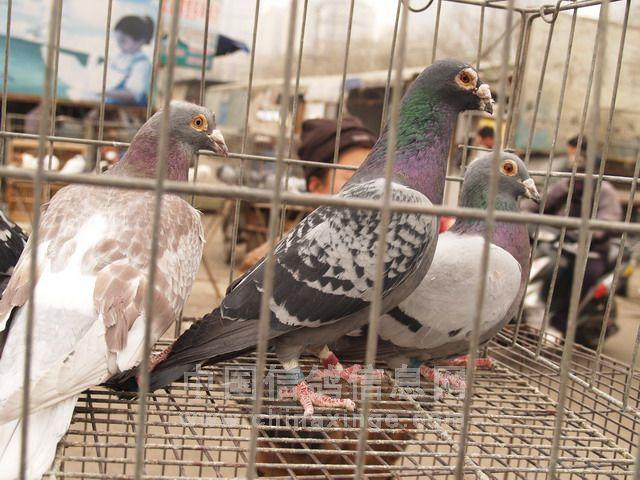 鸽友妻住院 郑州名家无偿赠鸽