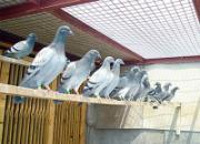 海斯门60年经验之幼鸽训练法