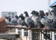 幼鸽开家应注意什么