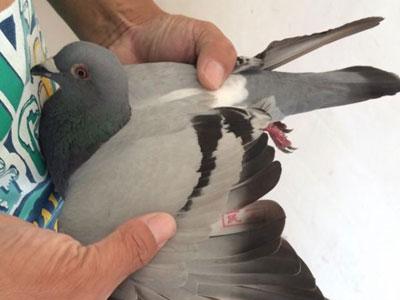 直上:探究鸽子的最高潜力(图)