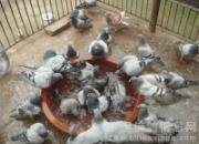 让爱鸽在健康状态下换羽