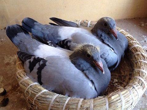 送给邻居的鸽子被20元交肉了
