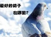 热点:吹牛 最好的鸽子在中国?