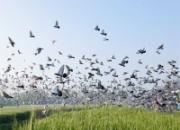 2016年上海市开场戏:500公里联赛今晚集鸽