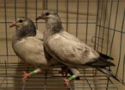 幼鸽健康:喂好种鸽是关键(图)