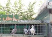 赛鸽手册:1-3月龄幼鸽管理(图)
