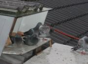 梅雨季节养鸽要注意什么?(图)