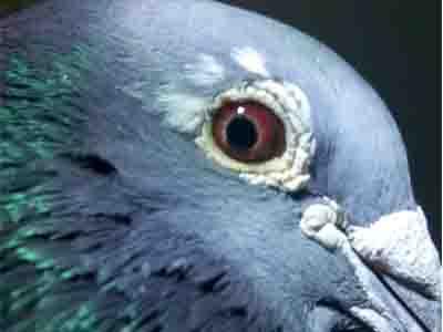 鸽眼探索专题图片