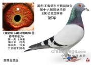 黑龙江肇东820公里国家赛高位奖鸽风采(图)
