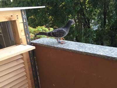 我的阳台精致小鸽舍(图)-鸽舍鸽具构造专题图片图片