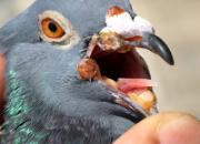 秋赛常见疾病之鸽痘防治