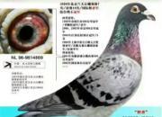 """永久的回忆:顶级大名鸽""""智者869""""的前世今生"""
