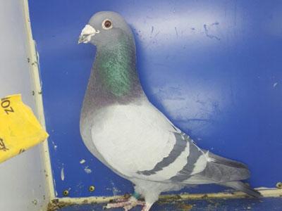教您如何给自己的爱鸽拍靓照