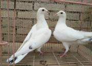 帮忙看下哪只鸽子比较好点?