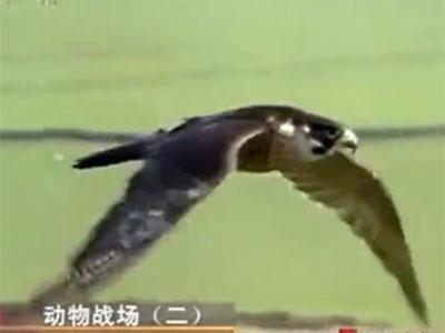 精彩视频:鸽与鹞子的惊险博弈