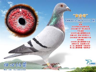 一羽好鸽子 已发挥七代-焦点图片新闻图片