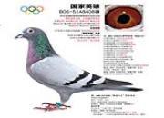 """每日一鸽:落户中国的11次速度赛冠军""""国家英雄"""""""