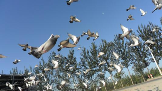 盐城鸽会免费为会员训放赛鸽
