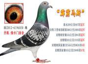 """每日一鸽:佛卡门速度赛超级明星""""霹雳号"""""""