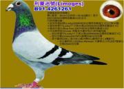 每日一鸽:速霸龙超级招牌种公利蒙治号