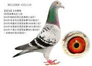"""每日一鸽:融合了顶尖长距离冠军血统的""""爱克"""""""