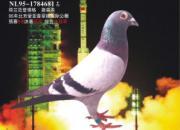 """每日一鸽:具有超强遗传能力的""""蓝色火箭"""""""