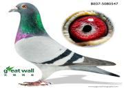 """每日一鸽:世界顶级种公直子""""小福雷迪"""""""