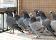 赛鸽各年龄阶段开家技巧