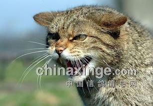 除害记:鸽棚战野猫