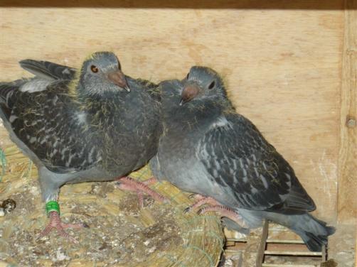 圈养幼鸽也能飞 原来有绝招