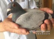 北京千公里成绩出炉 前十名奖鸽欣赏