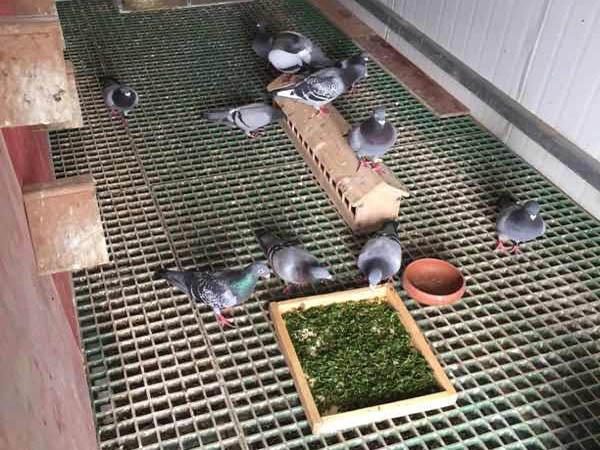 每天中午加餐:马齿苋青饲料