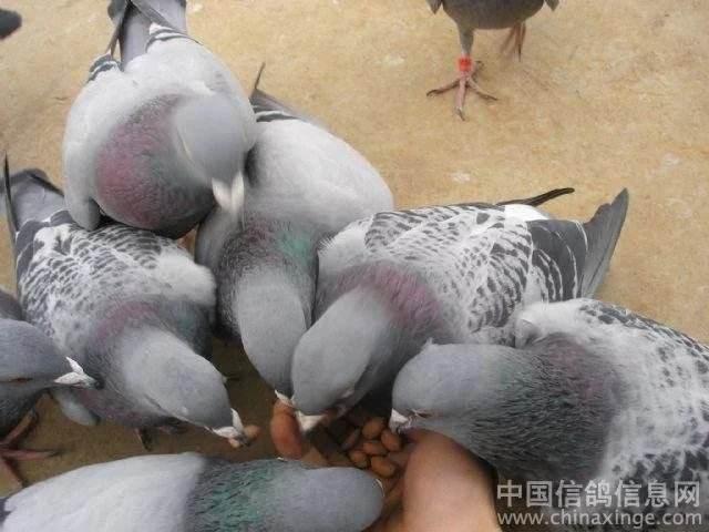 夏季赛鸽易患的营养缺乏症