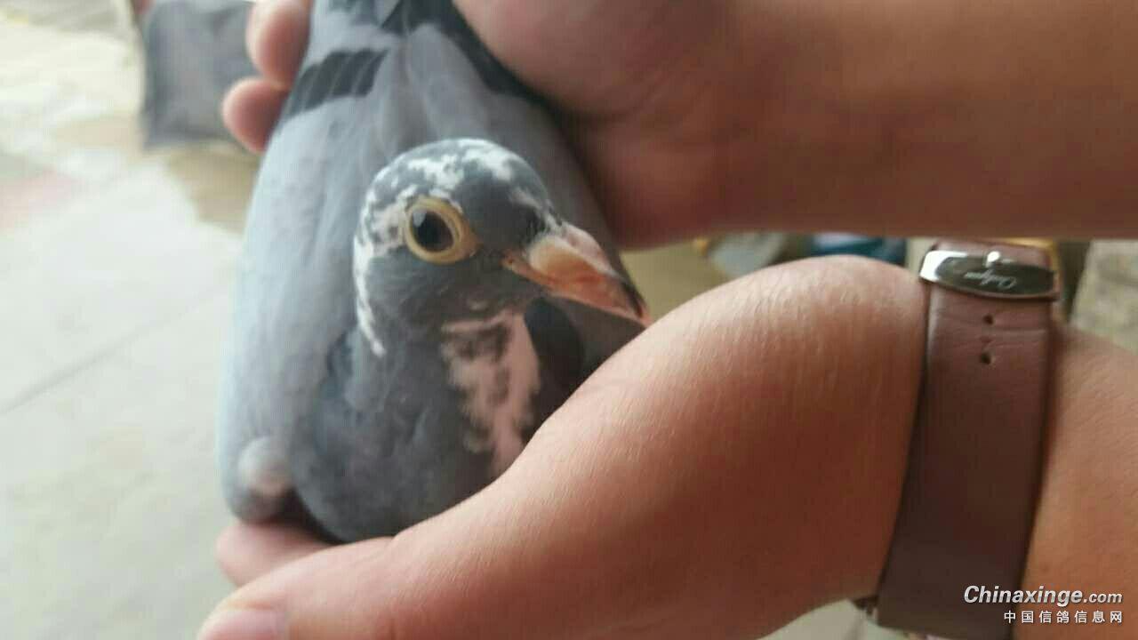 最小幼鸽交公棚 能不能吃得消