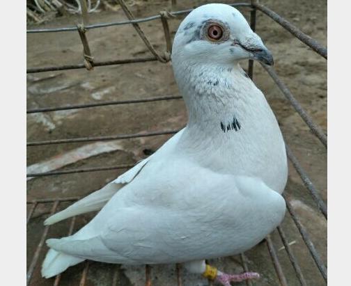 爱鸽欣赏:苍白骑士