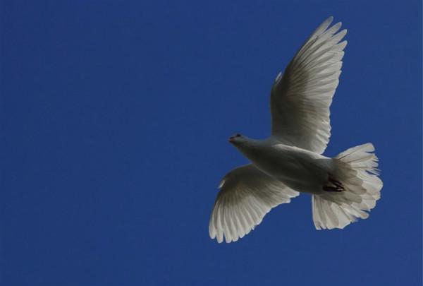诗歌:鸽梦