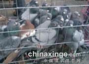 郑州热闹鸽市 价格便宜淘几只