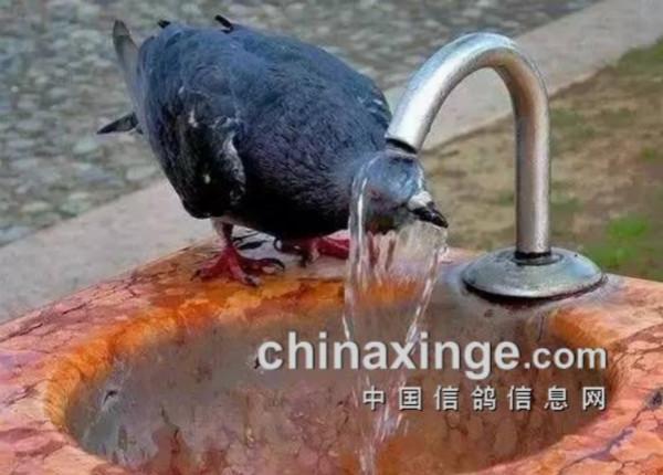 天太热 连洗脸盆都被鸽子占领了