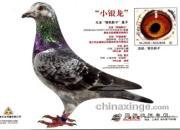 """每日一鸽:上海天军""""小银龙"""""""